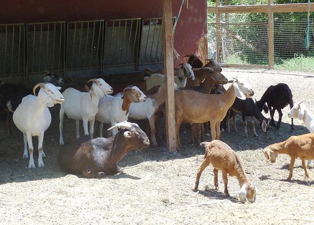 Sabor goats
