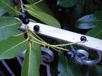 CherryLaurel