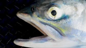 Salmon_Eye