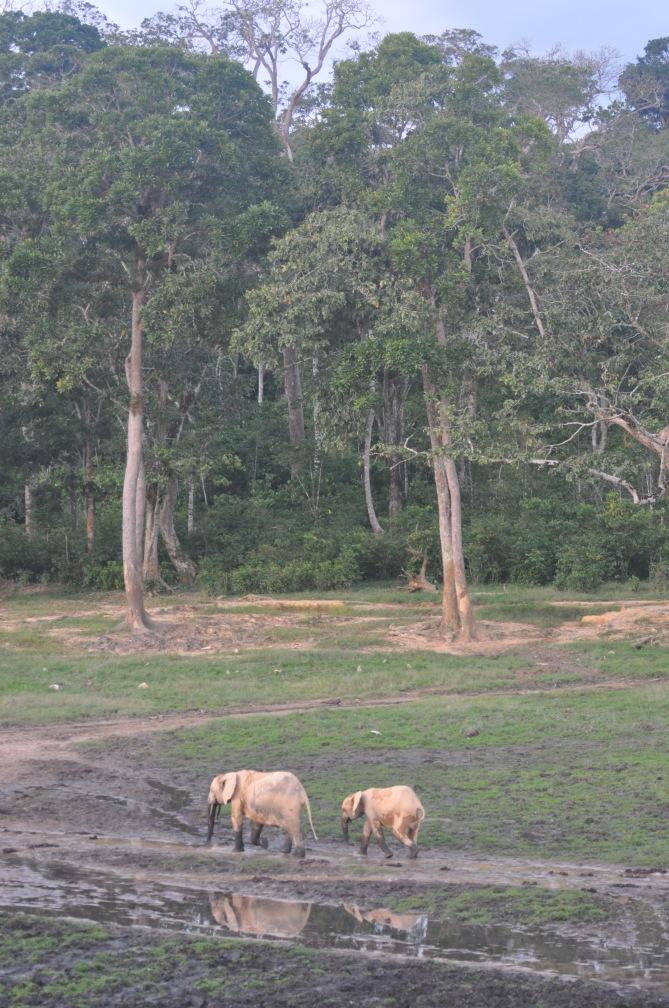 Dzanga Bai - forest clearing in Dzanga-Ndoki Natnl Park