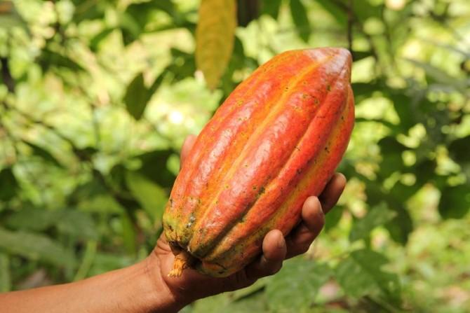 11 cocoa pod.jpg